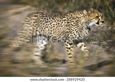 Vintage style image of a Cheetah (Acinonyx jubatus soemmeringii) in the Okavango Delta, Botswana - stock photo