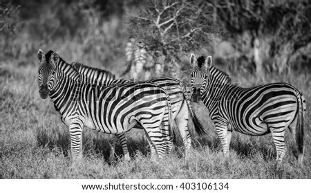 Vintage style image of  a group of zebras, Kruger National Park, South Africa - stock photo