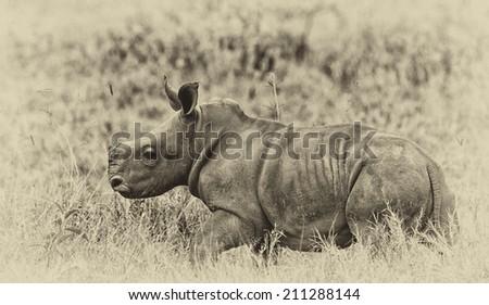 Vintage style image of a White rhinoceros or square-lipped rhinoceros (Ceratotherium simum) baby in Lake Nakuru National Park, Kenya.  - stock photo