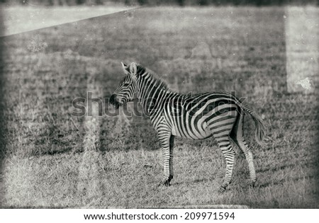 Vintage style image of a Zebra in the Serengeti National Park, Tanzania - stock photo