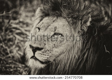Vintage style image of an African lion in Hlane National Park, Swaziland