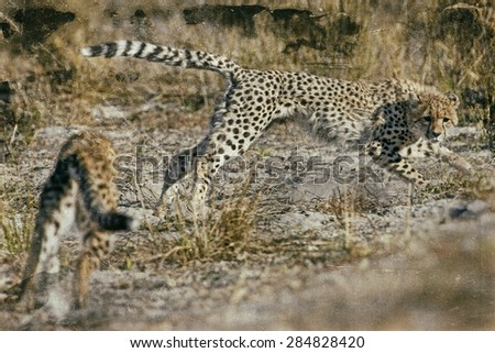 Vintage style image of Cheetahs (Acinonyx jubatus soemmeringii) in the Okavango Delta, Botswana - stock photo
