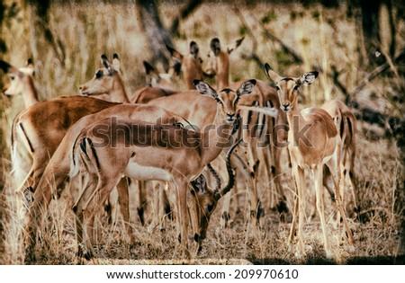 Vintage style image of female impala antelopes, Kruger National Park, South Africa - stock photo