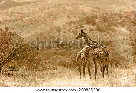 Vintage style image of Giraffes in the Serengeti National Park, Tanzania - stock photo