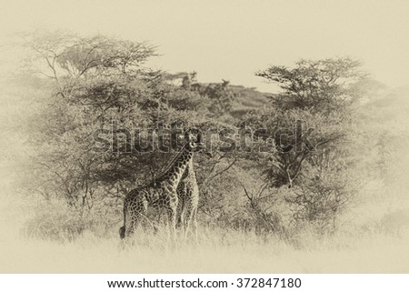 Vintage style image of two Giraffes in the Serengeti National Park, Tanzania - stock photo
