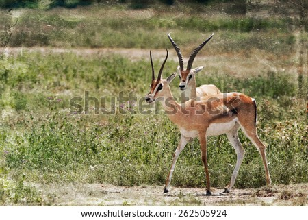Vintage style image of two Grant's Gazelles in the Serengeti National Park, Tanzania - stock photo