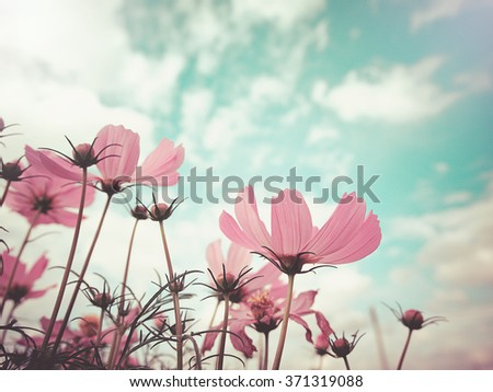 Vintage style  photo of beautiful pink cosmos flowers in garden with blue sky , selective focus. For background or poster. - stock photo