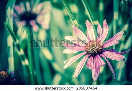 Vintage style photo of purple Echinacea flower ( Cone Flower ) - stock photo