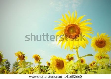 Vintage Sunflower - stock photo