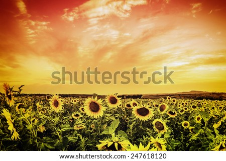 Vintage sunflower field on sunset - stock photo