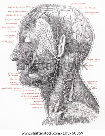 Vintage 19th century drawing of human superficial nerves of head neck - Picture from Meyers Lexikon book (written in German language) published in 1908 Leipzig - Germany.