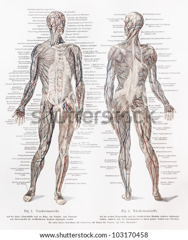 Vintage 19th century drawing of humans muscles and muscles major blood vessels - Picture from Meyers Lexikon book (written in German language) published in 1908 Leipzig - Germany. - stock photo