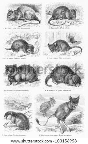 Vintage 19th century drawing of various species of mice and rodents - Picture from Meyers Lexikon book (written in German language) published in 1908 Leipzig - Germany. - stock photo
