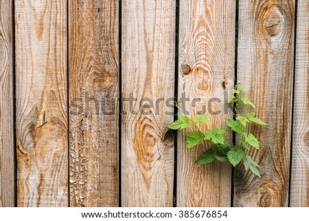 Vintage wood background. Grunge wooden weathered oak or pine textured fence and fresh   green plant with leaves growing among planks. Close up of aged brown wooden wall. New life concept. - stock photo