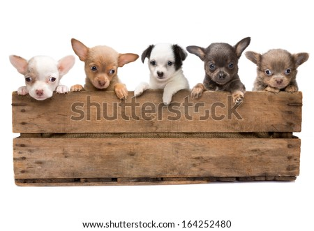 Vintage wooden crate filled with five newborn chihuahua puppies - stock photo