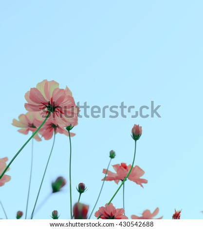 vintage Yellow Cosmos flowers blooming . - stock photo