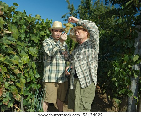 Vintners in french straw examining the grapes during the vintage. - stock photo
