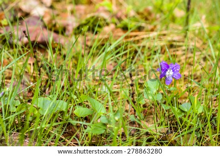 Viola canina blooming in wet forest undergrowth, nature backgrounds - stock photo