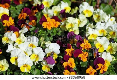 Viola cornuta, horned pansy, tufted pansy - stock photo