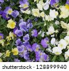 Viola flower field - stock photo