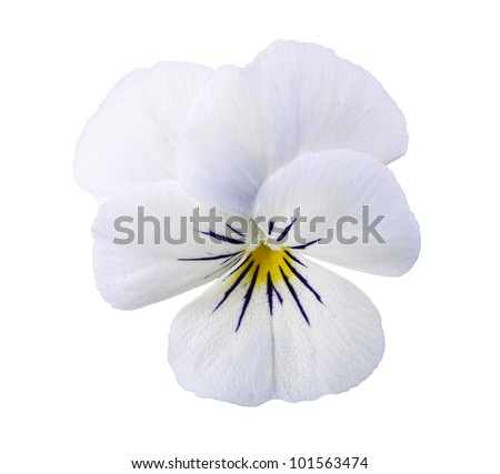Viola flower isolated on white background - stock photo