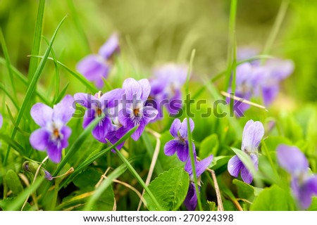 Viola odorata (Sweet Violet, English Violet, Common Violet, or Garden Violet) blooming in spring close-up. - stock photo