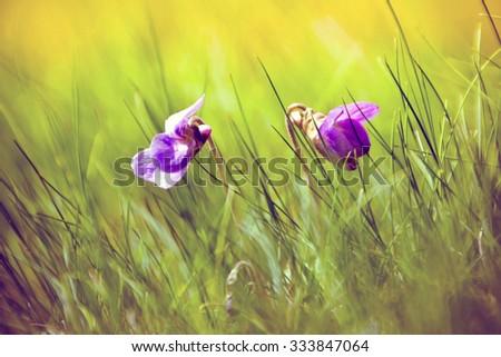 Viola odorata (Sweet Violet, English Violet, Common Violet, or Garden Violet) blooming in spring close-up. Nature background. - stock photo