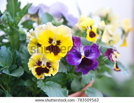 Viola plant with multicolor flowers