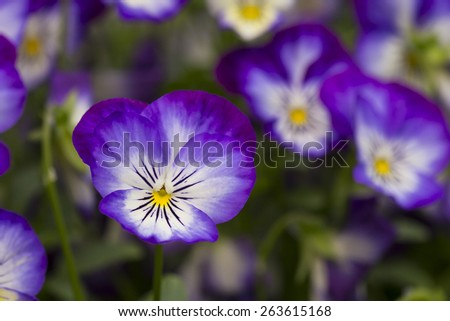 Viola Tricolor Pansy flowers with natural background - stock photo