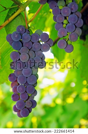Violaceous Grapes on the vine close-up - stock photo