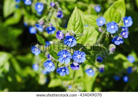 Violet and blue forget-me-nots lit by the morning sun. - stock photo