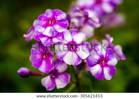 violet and white phlox