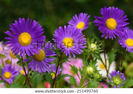 Violet Asters blooming in the garden - stock photo