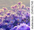 Violet asters flowers over background - stock photo