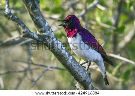 Violet-backed starling in Kruger national park, South Africa ; Specie Cinnyricinclus leucogaster family of Sturnidae