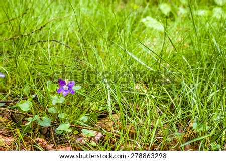 Violet blooming in wet forest grass, nature backgrounds - stock photo