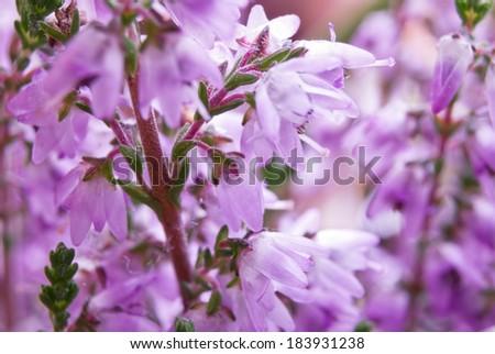 Violet blossoming heather. Macro (shallow DOF) - stock photo