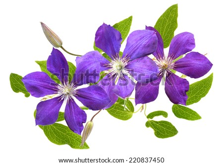 Violet clematis isolated - stock photo