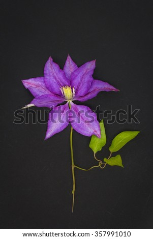 Violet clematis on black background  - stock photo
