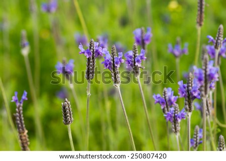 violet color Lavender flower on tree in the garden - stock photo