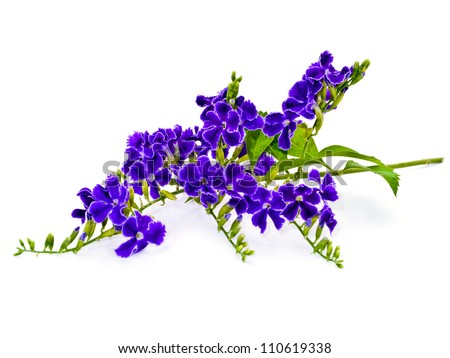 Violet color of Duranta erecta L. Verbenaceae - stock photo
