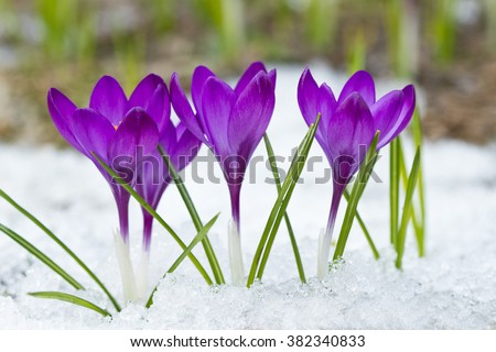 Violet crocus growing in the snow