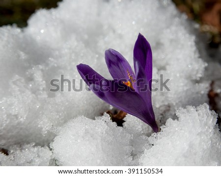 Violet crocuses have struggled through the snow. People associate  these bright flowers with spring. - stock photo