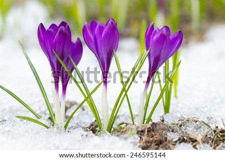 Violet crocuses on the snow - stock photo