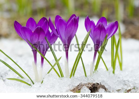 Violet crocuses on the snow