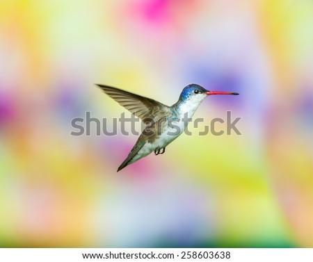 Violet Crowned Hummingbird. - stock photo