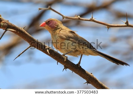 Violet-eared Waxbill - African Wild Bird Background - Colors in Nature