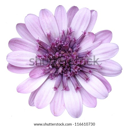 violet flower - stock photo