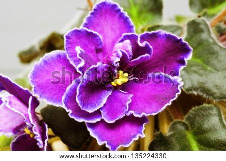 violet flower close up - stock photo
