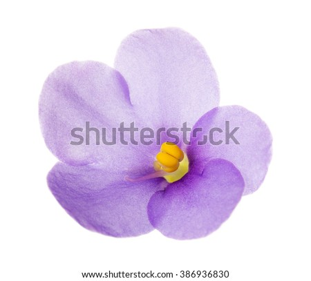 Violet flower close-up isolated on white background.